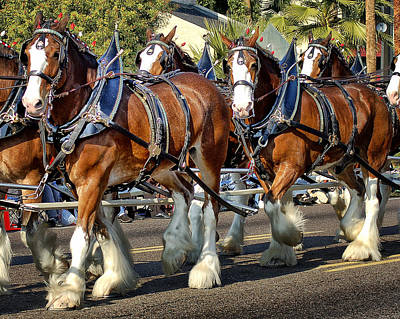 Budweiser Clydesdales Print by Jon Berghoff