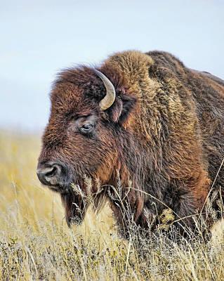 Buffalo Portrait Print by Dale Erickson