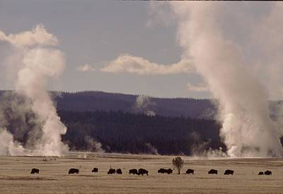 Buffalos Roaming In Yellowstone National Park. Print by Retro Images Archive