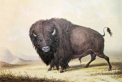 Black History Painting - Bull Buffalo by Celestial Images