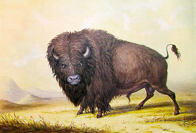 Buffalo Digital Art - Bull Buffalo by George Catlin