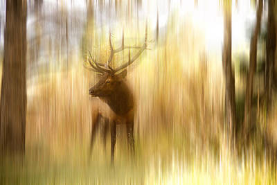 Icm Photograph - Bull Elk Forest Gazing by James BO  Insogna