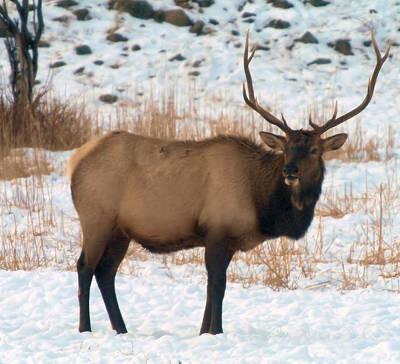 Bull Elk  Print by Jeff Swan