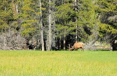 Roaming Elk Photograph - Bull Elk With Spring Velvet. by Johnny Adolphson