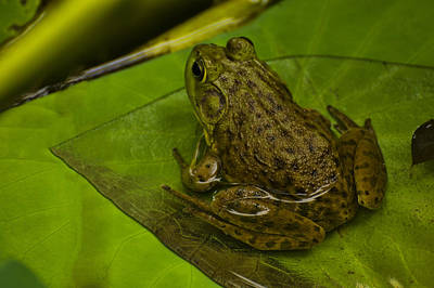 Frogs Digital Art - bull frog on a Lilly pad by Chris Flees