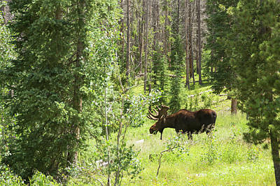 Bull Moose Grazing In Mountain Forest Print by Jim West