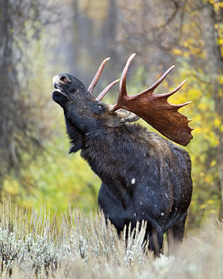 Bull Moose In Rut Print by Gary Langley