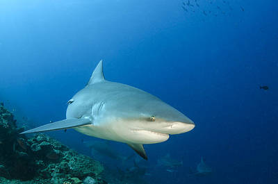 Toro Photograph - Bull Shark Beqa Lagoon Viti Levu Fiji by Pete Oxford