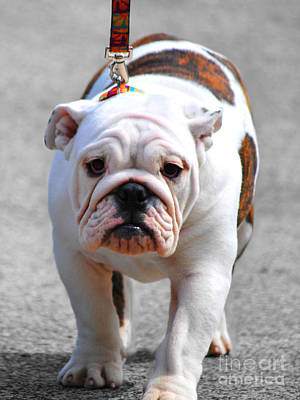 Bulldog Photograph - Bulldog Puppy II by Jai Johnson