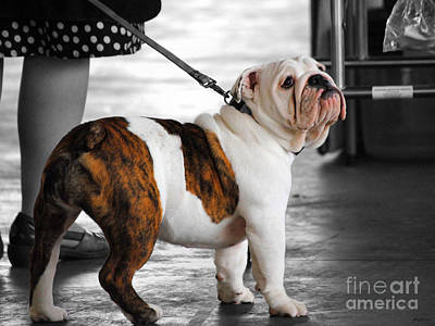 Bulldog Photograph - Bulldog Puppy IIi by Jai Johnson