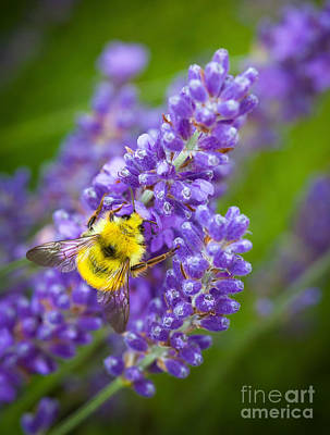 Bumble Bee And Lavender Print by Inge Johnsson