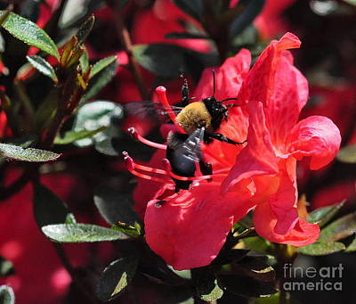 Bee Photograph - Bumble Bee Buzzes Azalea Red by Wayne Nielsen