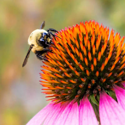 Coneflowers Photograph - Bumble Bee On Coneflower by Jim Hughes