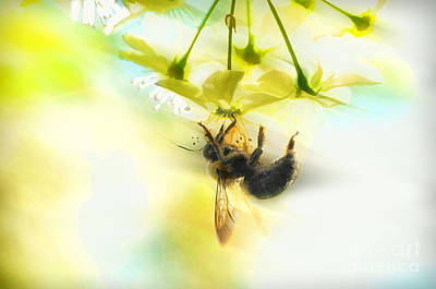 Bumble Going In For The Nectar Print by Dan Friend