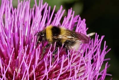 Eating Entomology Photograph - Bumblebee Feeding On Thistle Flower by Bob Gibbons