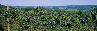 Winemaking Photograph - Bunch Of Grapes In A Vineyard, Finger by Panoramic Images
