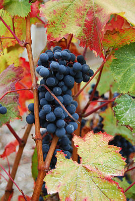 Grapes Photograph - Bunch Of Grapes by Jani Freimann