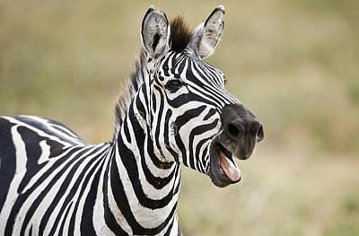 Burchells Zebra Equus Quagga Burchellii Print by Panoramic Images