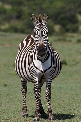 Adam Photograph - Burchell's Zebra, Maasai Mar, Kenya by Adam Jones
