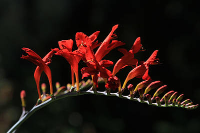 Crocosmia Photograph - Burning Flames by Donna Kennedy
