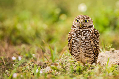 Bird Photograph - Burrowing Owl Looking After Its Home by Andres Leon