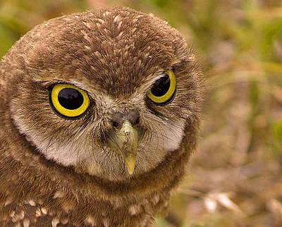 Burrowing Owl Portrait Print by Anne Rodkin