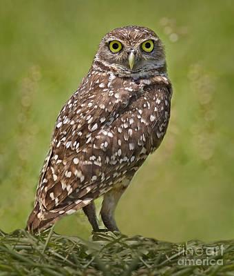 Burrowing Owl Print by Susan Candelario