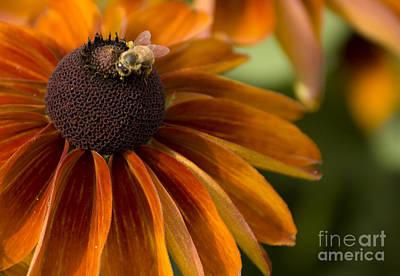 Coneflowers Photograph - Bursting by Heather Applegate