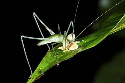 Bush Cricket Eating A Fallen Flower Print by Dr Morley Read