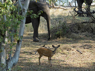 Bushbuck And Elephant In A Forest, Toka Print by Panoramic Images