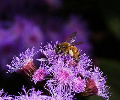 Busy Australian Bee Collecting Pollen Print by Margaret Saheed