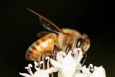 Busy Bee Print by Jonathan Davison