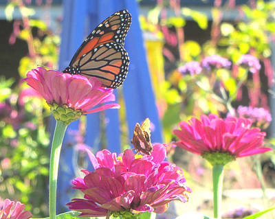 Zinna Photograph - Butterflies In  The Garden by Melinda Stogsdill