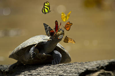 River Turtle Photograph - Butterflies Sipping Salt From Turtles by Pete  Oxford