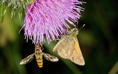Angiosperms Photograph - Butterfly And Hoverfly On Thistle Flower by Bob Gibbons