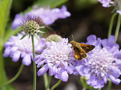 Photograph - Butterfly And Pincushion Flowers by Robert E Alter Reflections of Infinity
