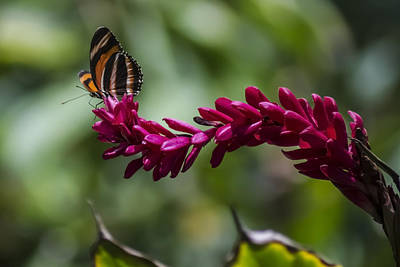 Butterfly At The End Of A Red Flower Print by Sven Brogren