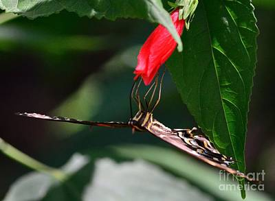 Butterfly Black Swallowtail With Leading Edge Palamedes Print by Wayne Nielsen