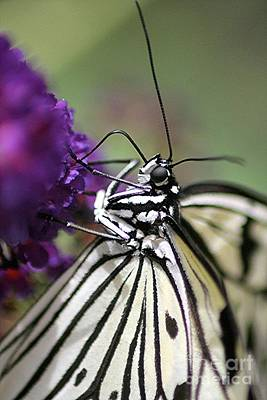 Butterfly Close Up  Print by Diane Greco-Lesser
