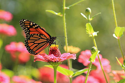 Butterfly Dance Print by Lorna Rogers Photography