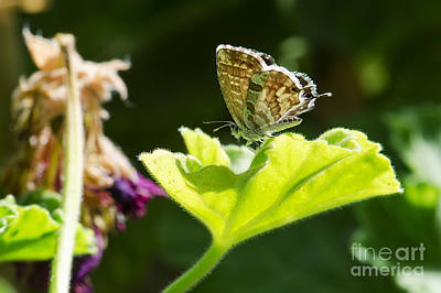 Butterfly Print by Giovanni Chianese
