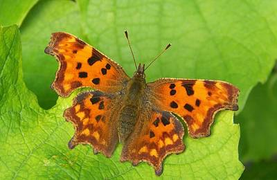 Insect Photograph - Butterfly On A Vine Leaf by Rumyana Whitcher