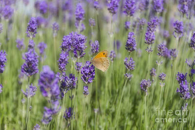 Flora Photograph - Butterfly On Lavender by Elaine Teague