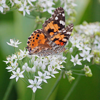 Macro Photograph - Butterfly On White Floral by Suzanne Gaff