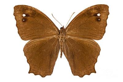 Leda Photograph - Butterfly Species Melanitis Leda  by Pablo Romero