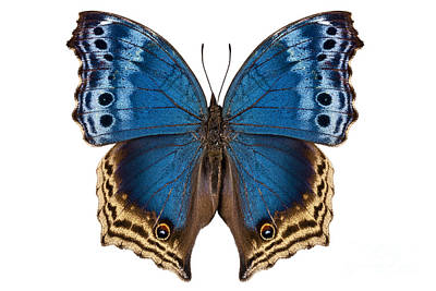 Butterfly Species Salamis Temora  Print by Pablo Romero