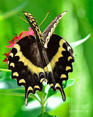 Butterfly Swallowtail Double Winges Caught Open Papillio Polyxenes Palamedes Print by Wayne Nielsen