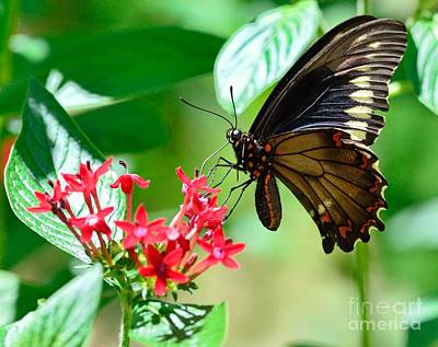 Butterfly Swallowtail Palamedes Print by Wayne Nielsen