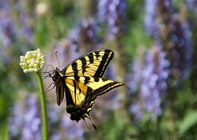Swallow Tail Photograph - Butterfly Thoughts by Lisa Knechtel