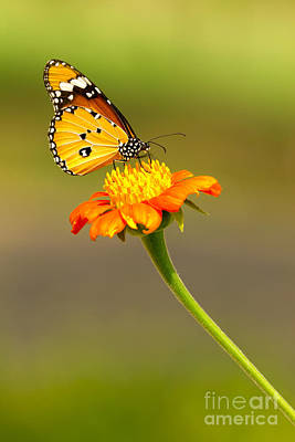 Butterfly In Motion Photograph - Butterfly by Tosporn Preede